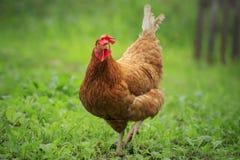 Chiuda sul pollo marrone nell'allevamento verde del campo Fotografie Stock
