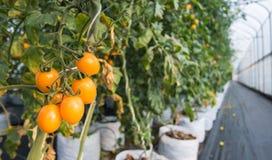 Chiuda sul pomodoro ciliegia giallo che cresce nell'azienda agricola dell'agricoltura della serra Immagini Stock Libere da Diritti