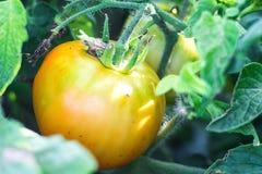 Chiuda sul pomodoro giallo che cresce nell'azienda agricola dell'agricoltura della pianta del campo Pomodori maturi che crescono  Immagini Stock Libere da Diritti