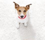Chiuda sul punto di vista curioso del cane Fotografia Stock