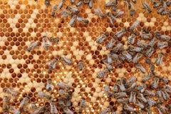 Chiuda sul punto di vista degli api di funzionamento sui honeycells Immagine Stock Libera da Diritti