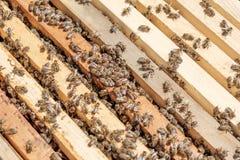 Chiuda sul punto di vista degli api di funzionamento sui honeycells Immagini Stock