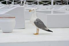 Chiuda sul punto di vista del gabbiano bianco degli uccelli Immagini Stock