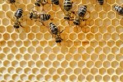 Chiuda sul punto di vista delle api di lavoro Fotografia Stock