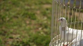 Chiuda sul punto di vista delle colombe bianche che si siedono nella gabbia archivi video
