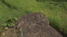 Chiuda sul punto di vista delle formiche sulla pietra, la formica del legno, herculeanus del camponotus Lavoro di squadra: formic stock footage