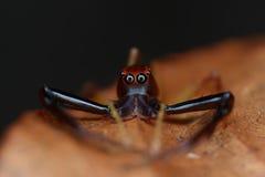 Chiuda sul punto di vista di un ragno di salto audace Fotografia Stock
