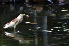 Chiuda sul punto di vista di un uccello con il pesce Fotografia Stock Libera da Diritti