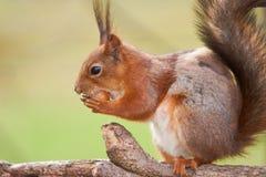 Chiuda sul punto di vista di uno scoiattolo rosso che prova ad aprire un dado Immagine Stock Libera da Diritti