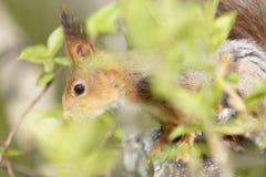 Chiuda sul punto di vista di uno scoiattolo rosso nel fogliame dell'albero Fotografie Stock Libere da Diritti