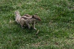 Chiuda sul punto di vista di piccolo scoiattolo sull'erba verde nel giardino fotografie stock libere da diritti