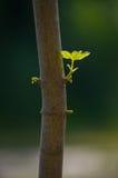 Chiuda sul ramo con le giovani foglie su un tronco di albero Fotografia Stock Libera da Diritti