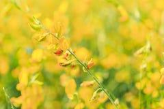 Chiuda sul ramo del fiore giallo della canapa delle indie con il campo immagini stock