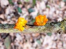 chiuda sul ramo del terreno boscoso del fungo - il mesenterica Retz del Tremella - Brain Fungus giallo Fotografie Stock