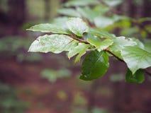 Chiuda sul ramo di albero bagnato del faggio immagini stock