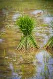 Chiuda sul riso del germoglio (Oryza sativa) Immagine Stock Libera da Diritti
