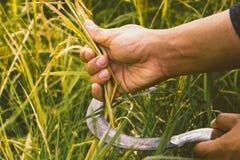 Chiuda sul riso del raccolto del gancio della falce e della mano Fotografia Stock