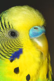 Chiuda sul ritratto del maschio di pappagallino ondulato sui precedenti scuri Macro Fotografia Stock Libera da Diritti