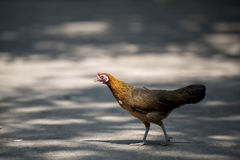 Chiuda sul ritratto del pollo del bantam, gallina Fotografia Stock