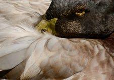 Chiuda sul ritratto dell'anatra che nasconde il suo naso sotto le ali Animale da allevamento Fotografia Stock
