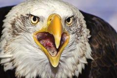 Chiuda sul ritratto dell'aquila calva americana che squawking Fotografia Stock Libera da Diritti