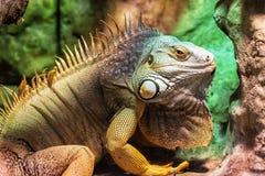 Chiuda sul ritratto dell'iguana verde - iguana dell'iguana immagine stock