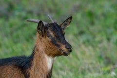 Chiuda sul ritratto della capra Domesticus della capra domestica Immagini Stock Libere da Diritti