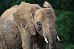 Chiuda sul ritratto della femmina dell'elefante africano Fotografia Stock Libera da Diritti