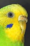 Chiuda sul ritratto della femmina di pappagallino ondulato Macro Immagine Stock