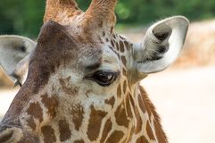 Chiuda sul ritratto della giraffa masai fotografia stock