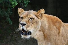 Chiuda sul ritratto della leonessa femminile che rugge immagini stock