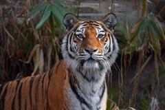 Chiuda sul ritratto della tigre dell'Amur del siberiano Fotografie Stock