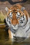 Chiuda sul ritratto della tigre dell'Amur del siberiano Fotografia Stock Libera da Diritti