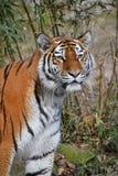 Chiuda sul ritratto della tigre dell'Amur del siberiano Immagini Stock