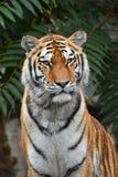 Chiuda sul ritratto della tigre dell'Amur del siberiano immagine stock libera da diritti