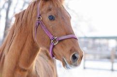 Chiuda sul ritratto di bello cavallo quarto americano Fotografia Stock Libera da Diritti