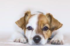 Chiuda sul ritratto di giovane piccolo cane sveglio sopra backgroun bianco fotografia stock libera da diritti