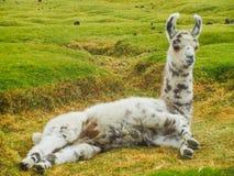 Chiuda sul ritratto di un'alpaga in Bolivia Immagini Stock