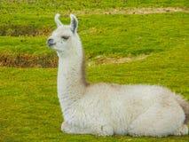 Chiuda sul ritratto di un'alpaga in Bolivia Fotografia Stock Libera da Diritti