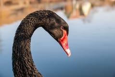 Chiuda sul ritratto di un cigno nero con il becco rosso su un fondo vago Fotografie Stock Libere da Diritti