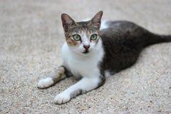 Chiuda sul ritratto di un gatto Fotografie Stock Libere da Diritti
