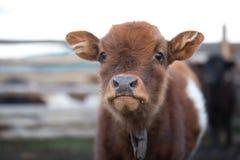Chiuda sul ritratto di una mucca sveglia del bambino Fotografia Stock