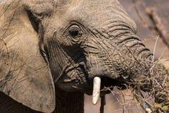 Chiuda sul ritratto laterale dell'elefante Fotografie Stock