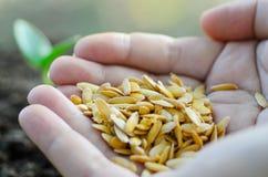 Chiuda sul seme a disposizione Immagine Stock