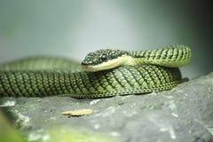 Chiuda sul serpente dorato dell'albero Immagini Stock Libere da Diritti
