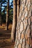 Chiuda sul tronco di albero in foresta Fotografia Stock Libera da Diritti