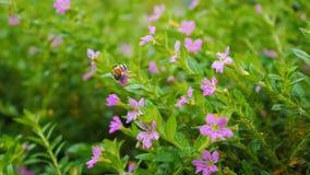 Chiuda sul volo dell'ape intorno al fiore video d archivio