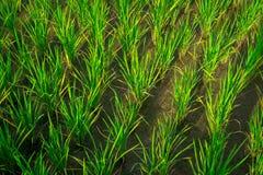 chiuda sull'agricoltura del giacimento del riso si sviluppano all'aperto Fotografie Stock