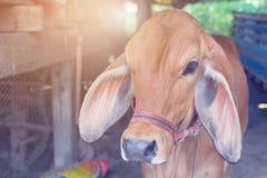 chiuda sull'agricoltura rossa animale dell'azienda agricola della mucca del bambino del vitello Fotografia Stock Libera da Diritti