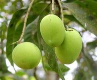 Chiuda sull'albero con la frutta verde del mango nel giardino Fotografia Stock Libera da Diritti